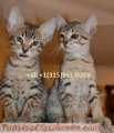 Stunning male and female bengal kittens available for adoption
