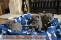 Stunning male and female british short hair kittens available for new homes